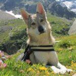 blog cane lupo cecoslovacco