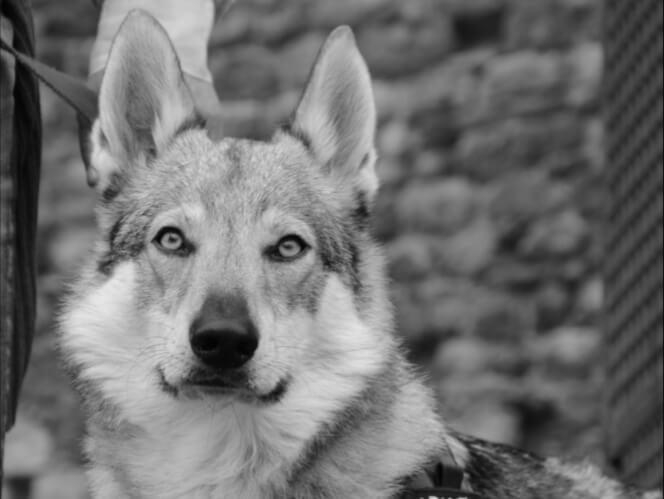 addestramento-cane-lupo-cecoslovacco