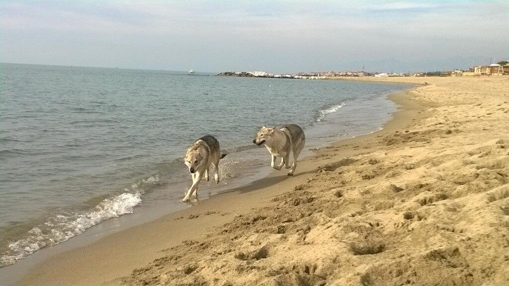 origini-della-razza-cane-lupo-cecoslovacco