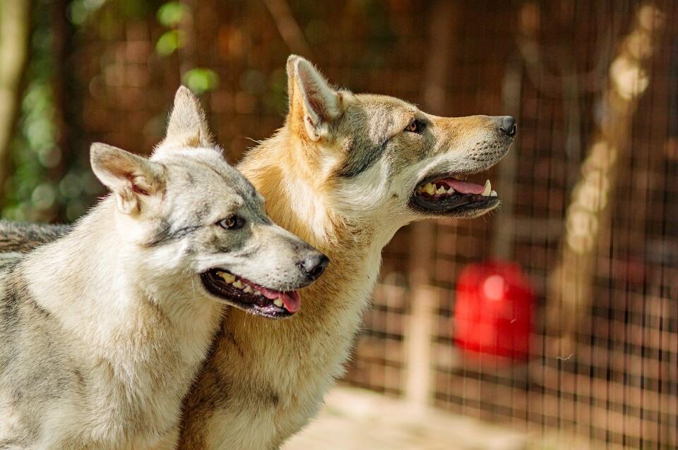 coronavirus cane lupo cecoslovacco