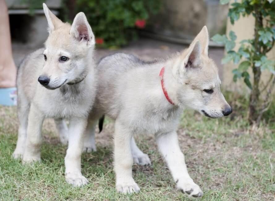 come-scegliere-il-nome-del-cane-lupo-cecoslovacco