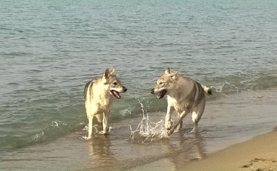lupi-di-mare-CLC