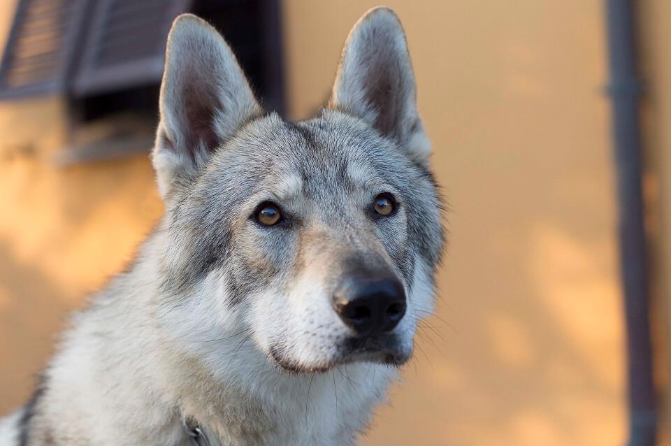 muta-del-pelo-cane-lupo-cecoslovacco