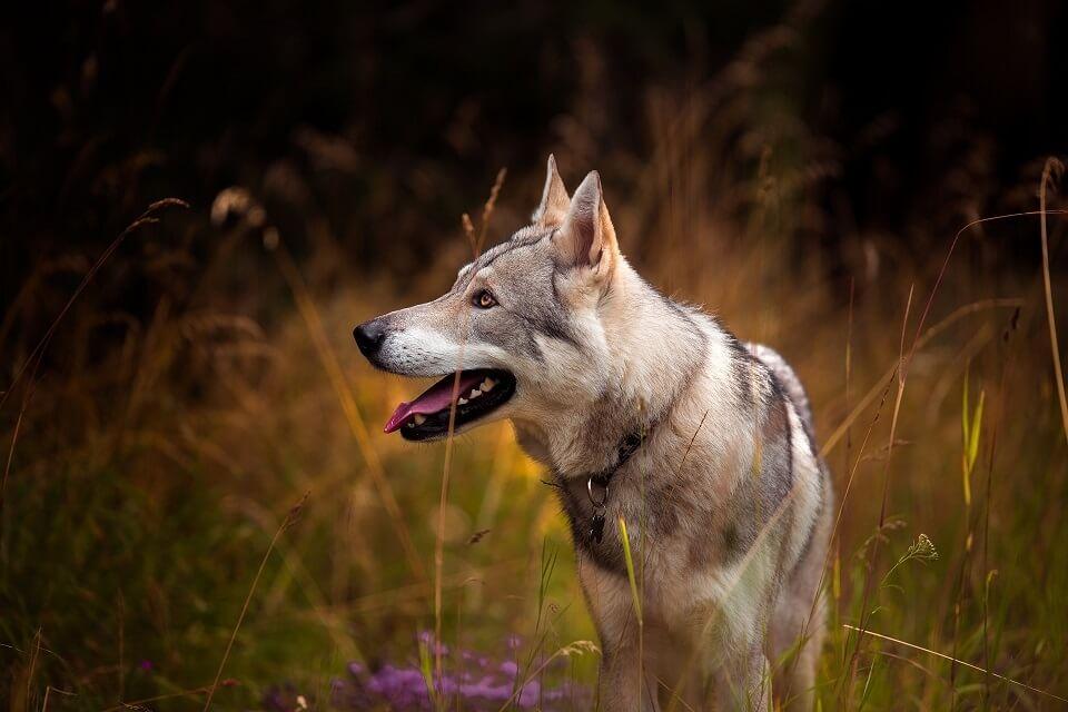 cane-lupo-cecoslovacco-cosa-lo-rende-irresistibile