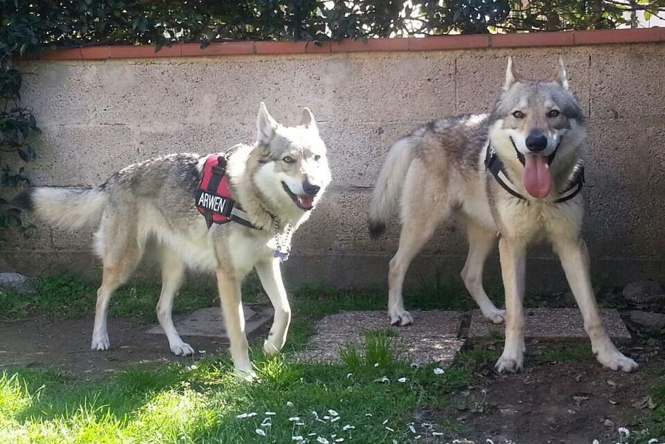 lupo-cecoslovacco-cane-da-guardia