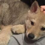 Lupo cecoslovacco: 3 cose che lo rendono un cane felice.