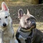 Il cane lupo cecoslovacco può convivere con altri animali?