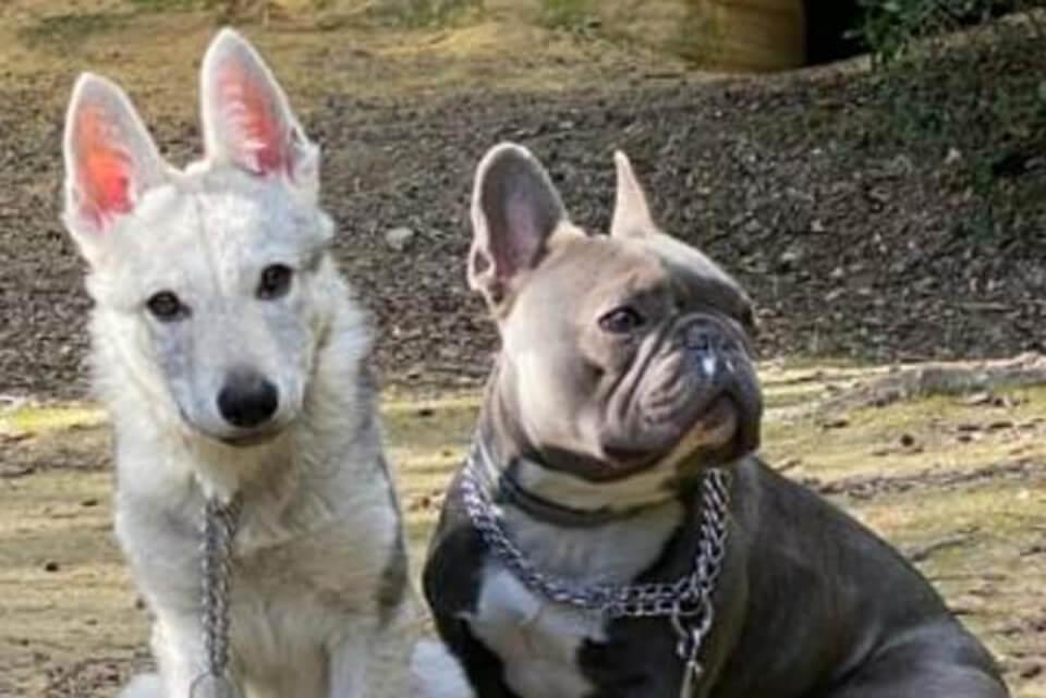 cane lupo cecoslovacco va d'accordo con altri animali