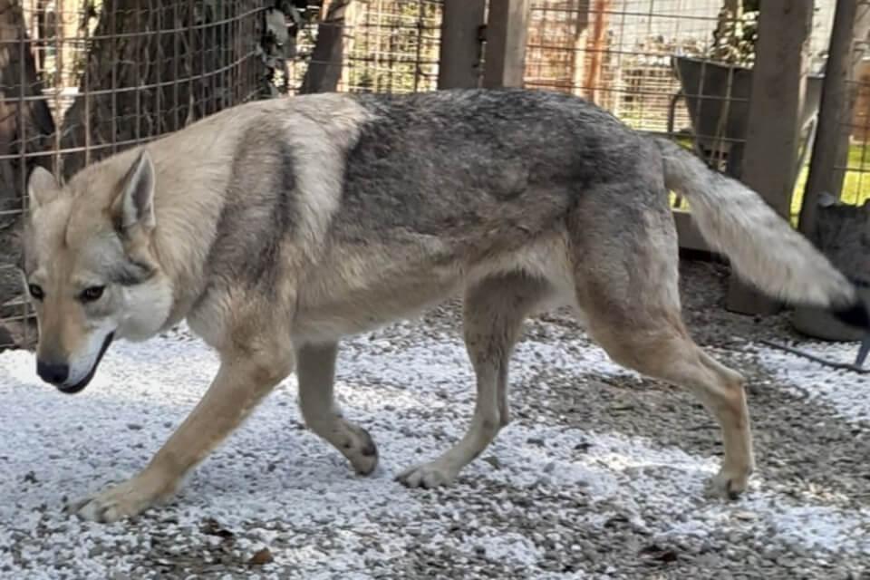 lupo cecoslovacco adottare maschio o femmina a Pisa