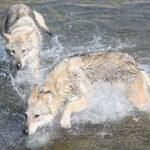 Il cane lupo cecoslovacco soffre il caldo?