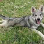 Cosa fare quando si incontra un lupo cecoslovacco?
