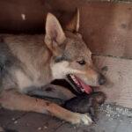 Cane Lupo Cecoslovacco: la gestazione e il parto